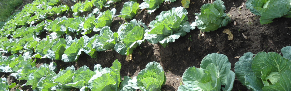Cabbages being grown as one way to generating Income for the farm